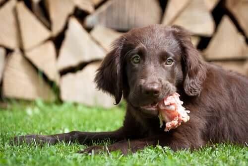 Proteínas para cães: quais são as melhores?