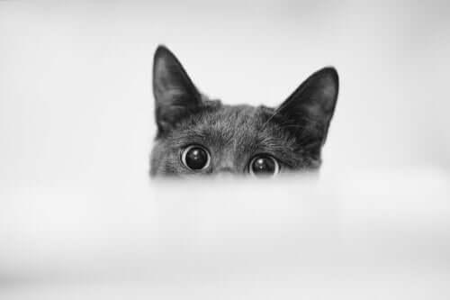 Causas das pupilas dilatadas em gatos