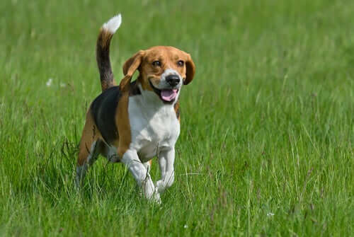 Quais são as raças de cães mais enérgicas