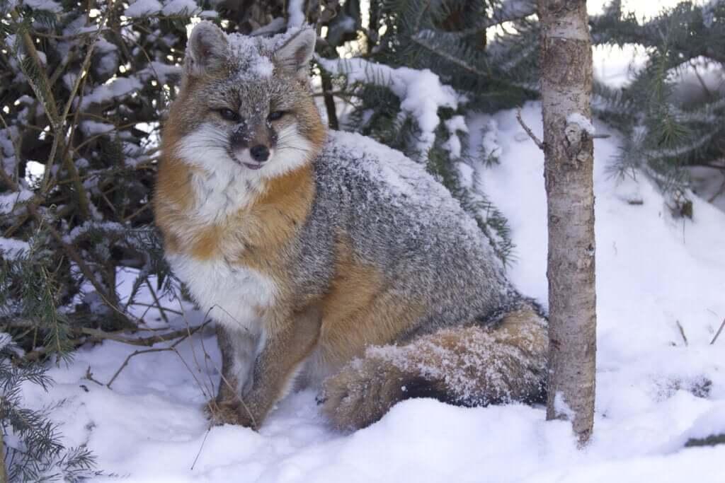 Curiosidades e hábitos da raposa-cinzenta