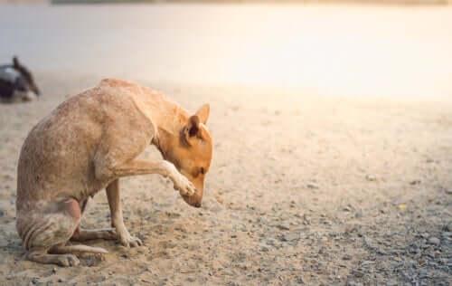 Sintomas de sarna sarcóptica em cães