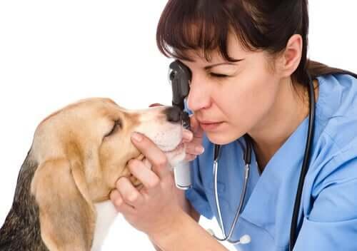 Tratamento da distiquíase em cães