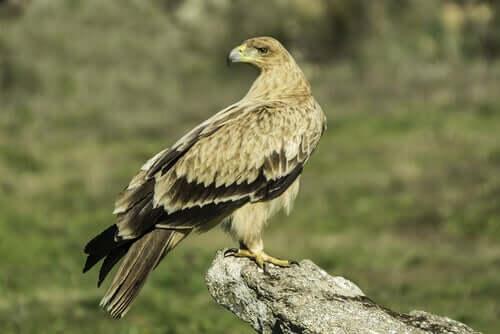 Conheça a águia-imperial-ibérica