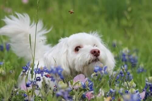 Alergias a picadas de abelha em cães: o que fazer?
