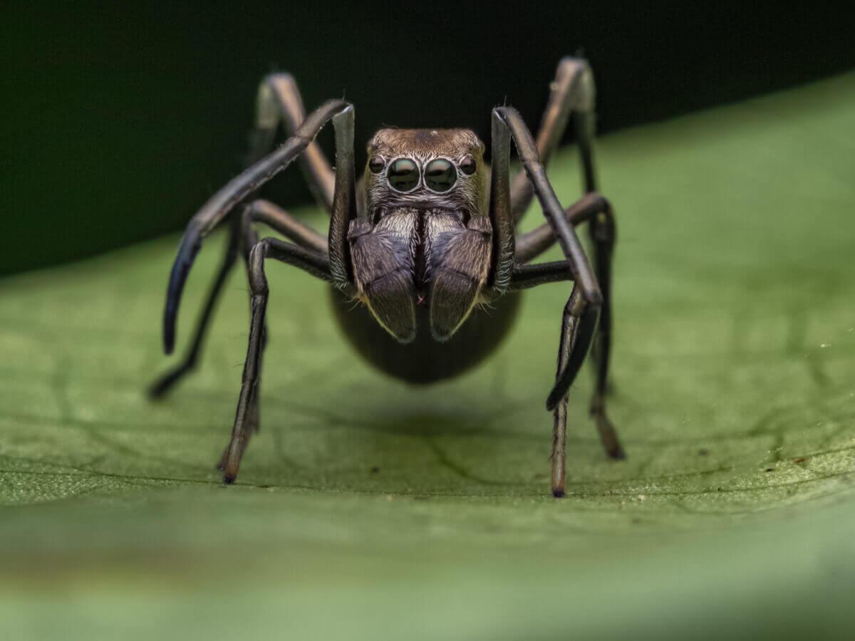 Aranhas que parecem formigas
