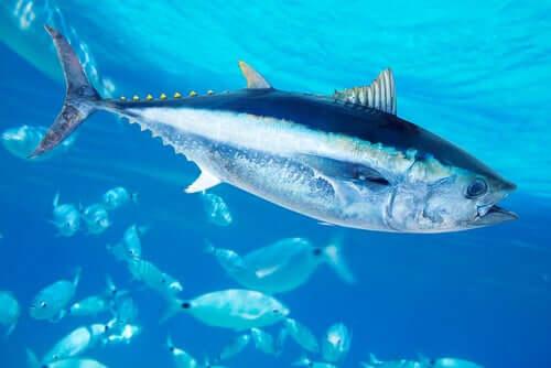 Atum-rabilho: dieta e características