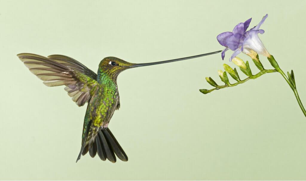 Beija-flor-bico-de-espada: a desvantagem da especialização extrema