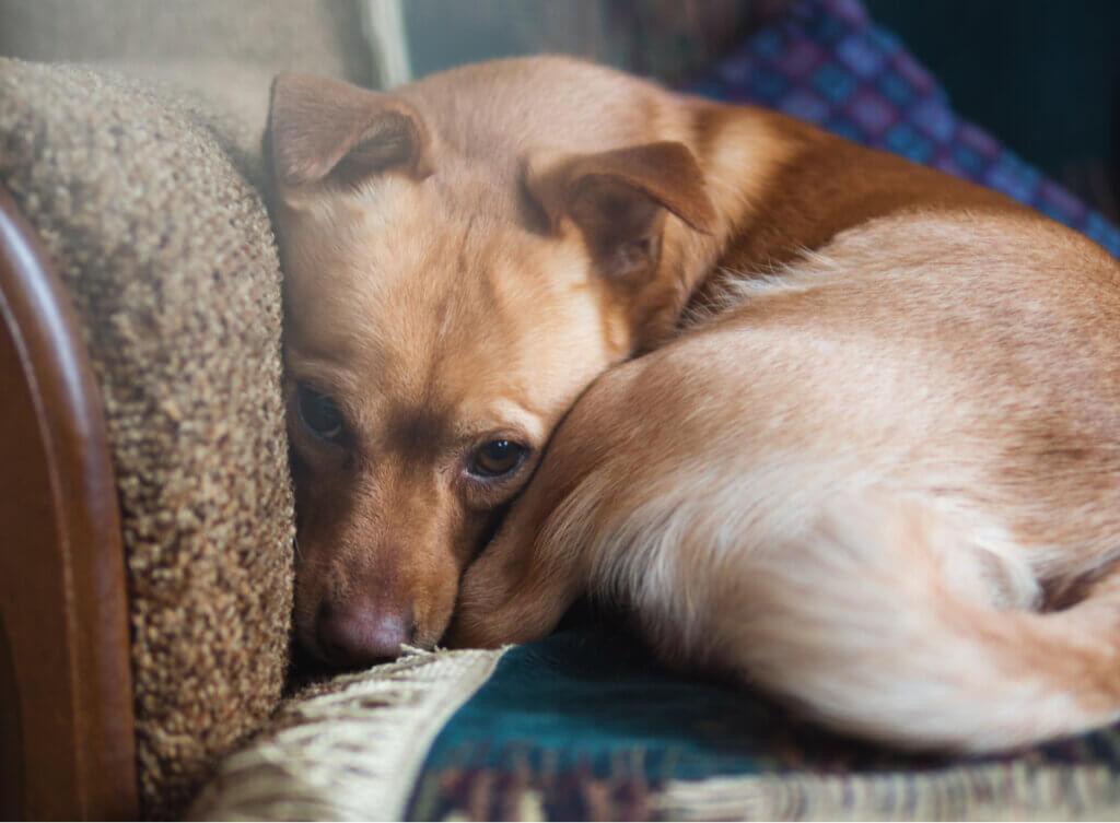 Estudo revela que mais de 72% dos cães têm ansiedade