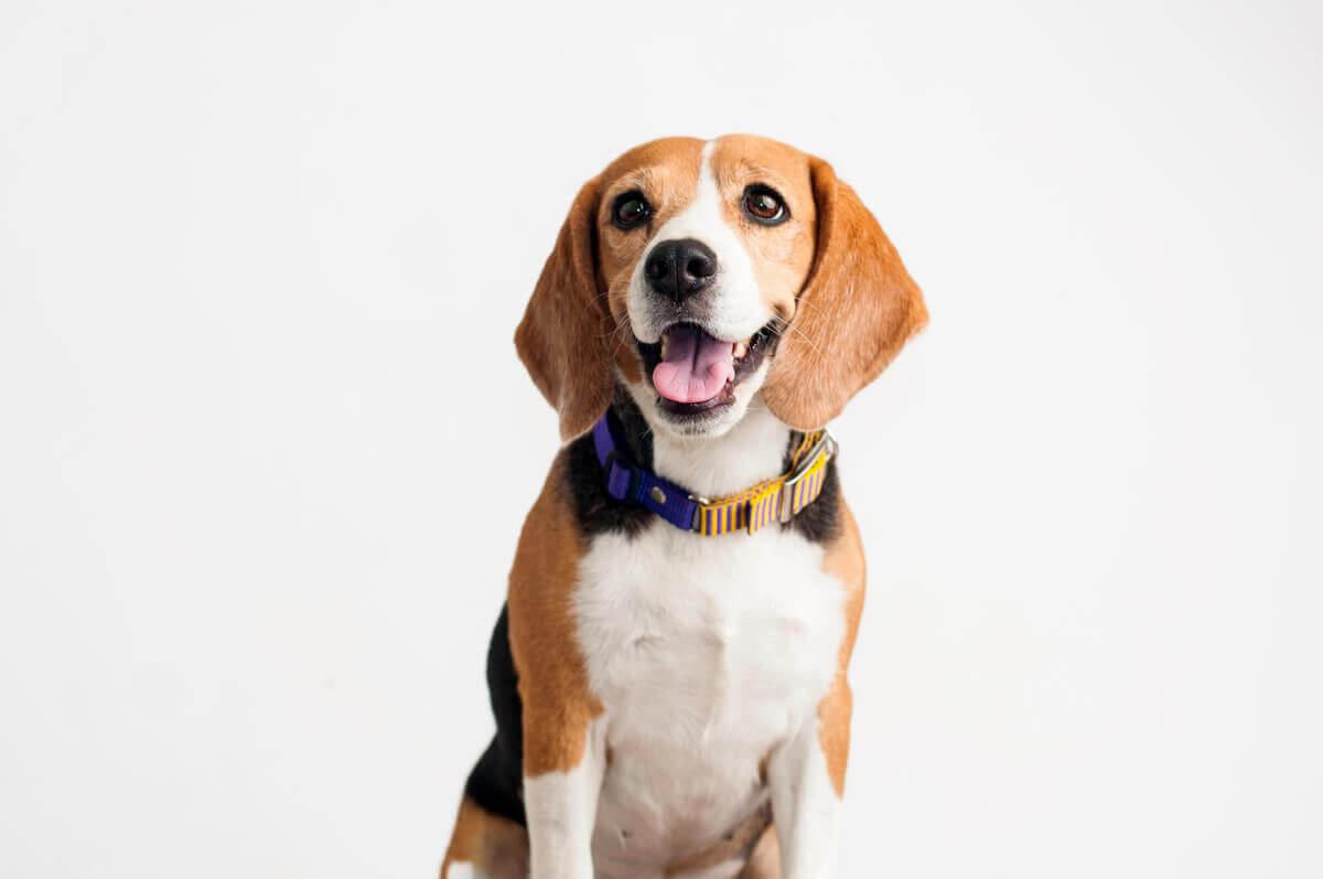 doenças mais comuns em beagles