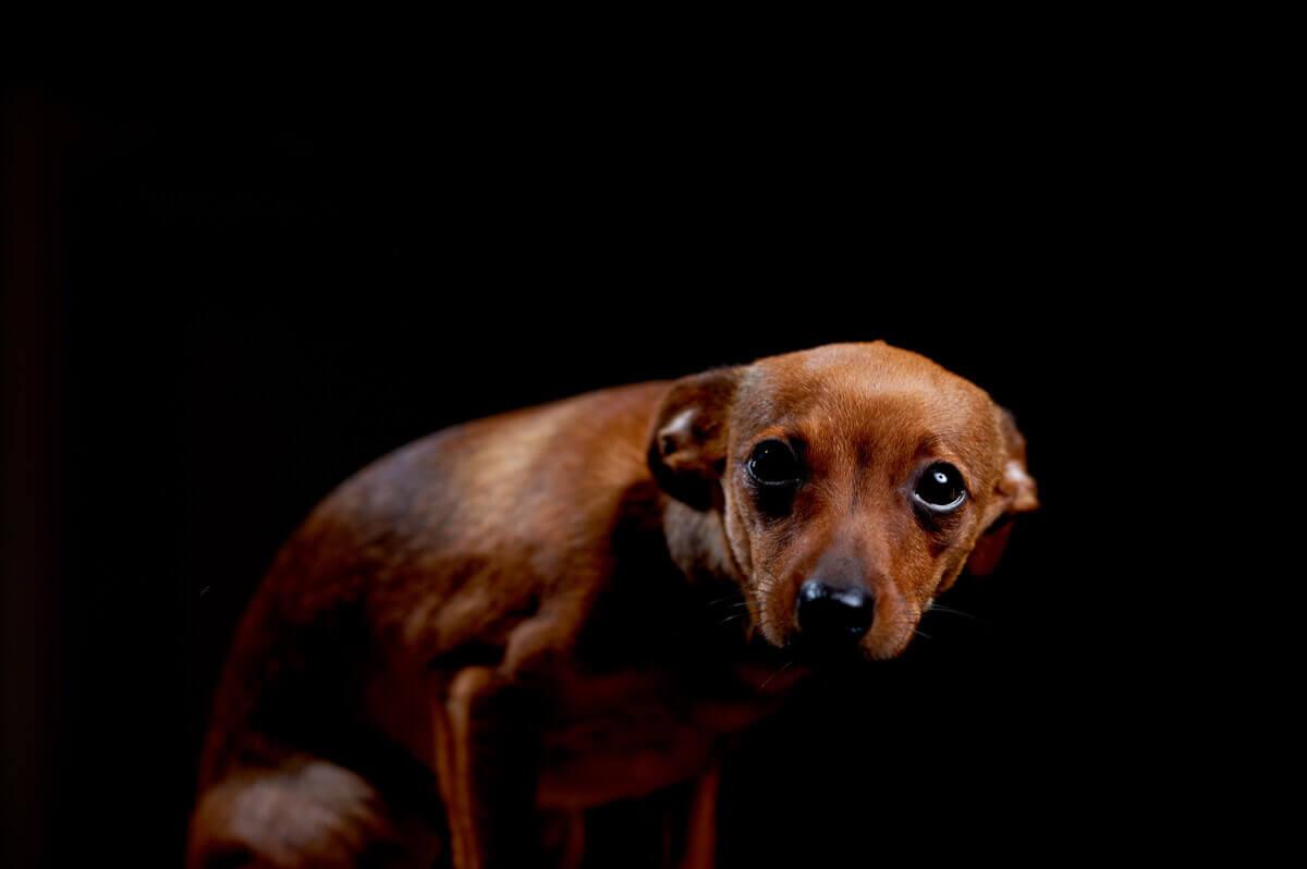 cães com ansiedade