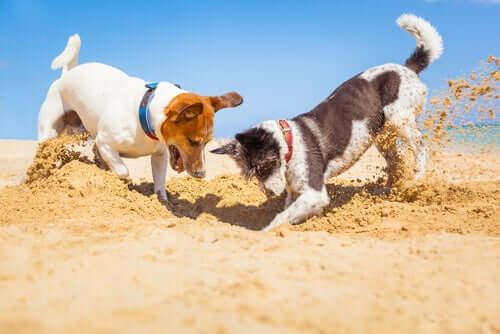 Razões pelas quais os cães comem terra