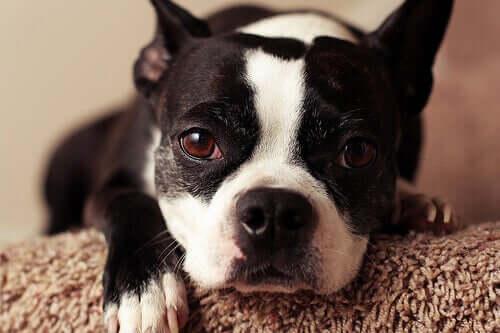 Como saber se um cão é alérgico?
