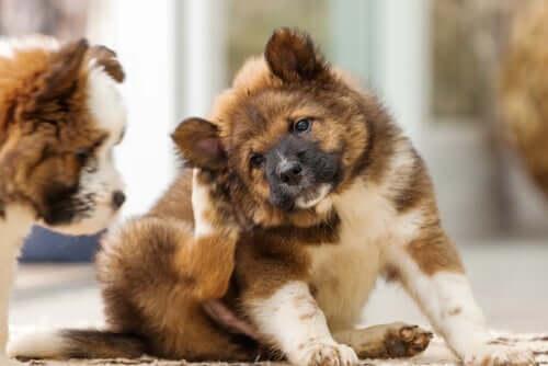 Cão alérgico: os tapetes podem estar contribuindo para as alergias