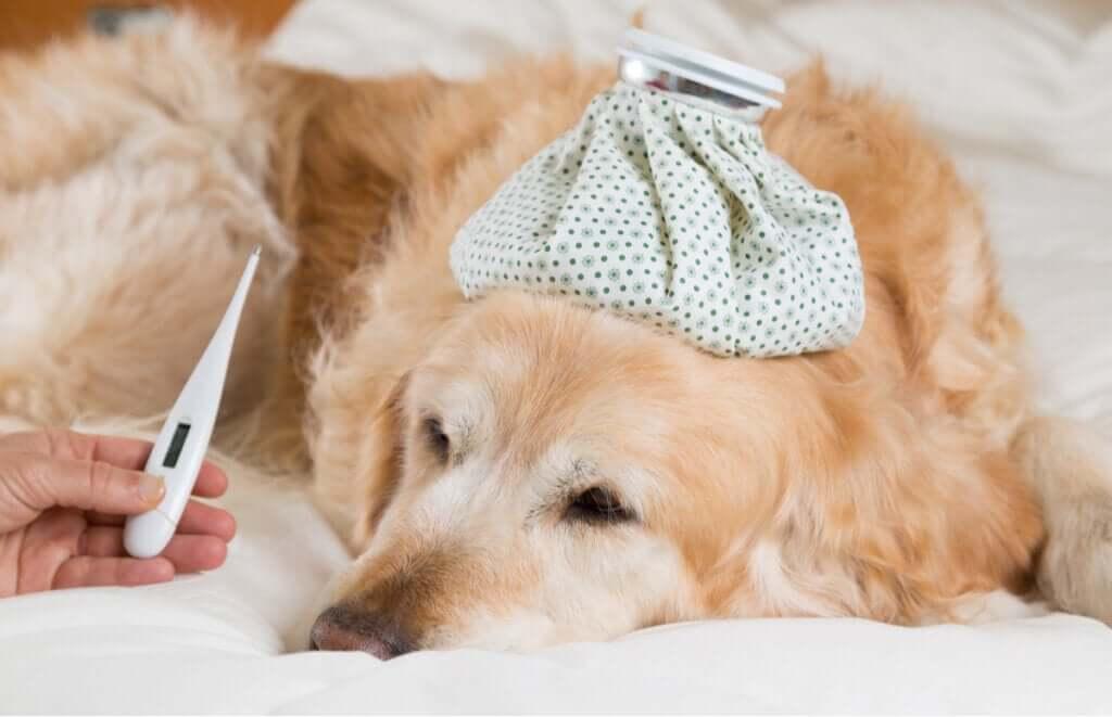 Quais são os sintomas da febre em cães?