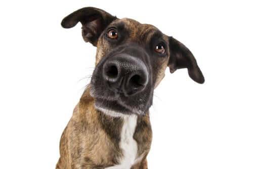 Rinite crônica canina