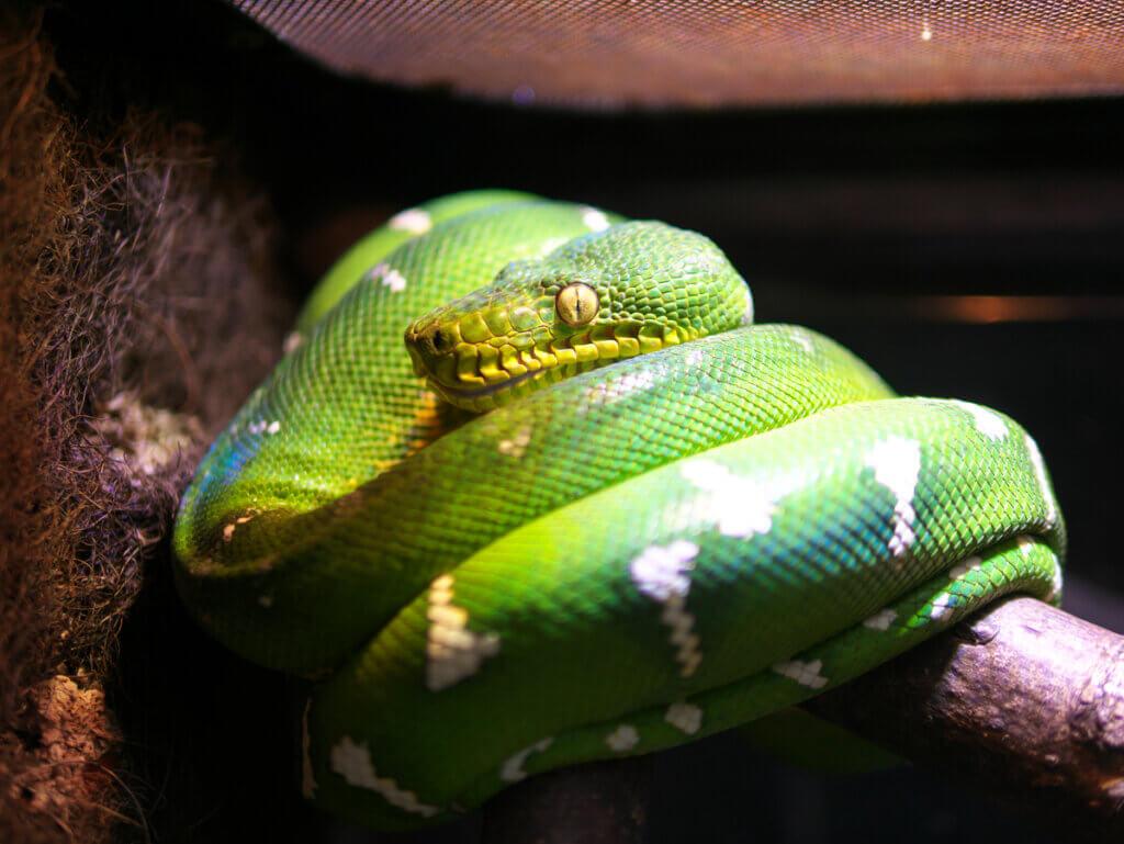 Cobra-papagaio (Corallus caninus): cuidados em cativeiro
