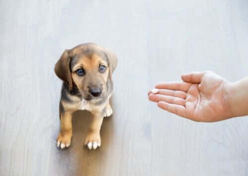 Por que você nunca deve dar paracetamol ao seu cão?
