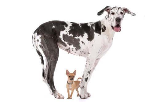 Por que os cães grandes não vivem tanto quanto os pequenos?