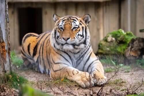 O enriquecimento ambiental para grandes felinos