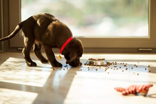 Por que a obsessão dos cachorros por comida?