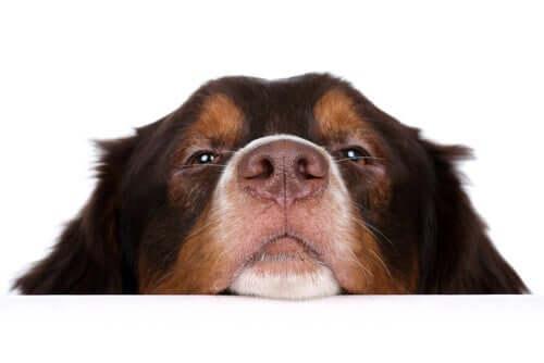 A microbiota que vive no nariz do cão