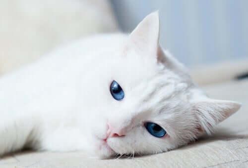 Por que alguns gatos brancos são surdos?