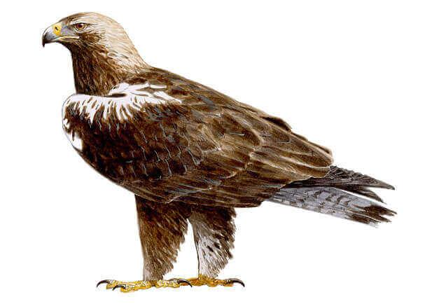 Como é a águia-imperial-ibérica?