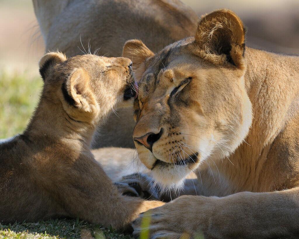 A leoa: inteligência, estratégia e instinto maternal