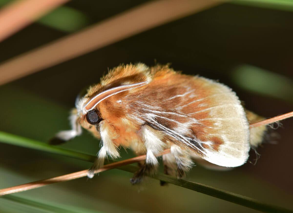 A lagarta da mariposa-flanela