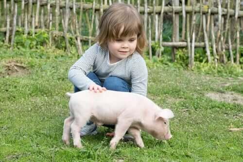Os suínos e o xenotransplante
