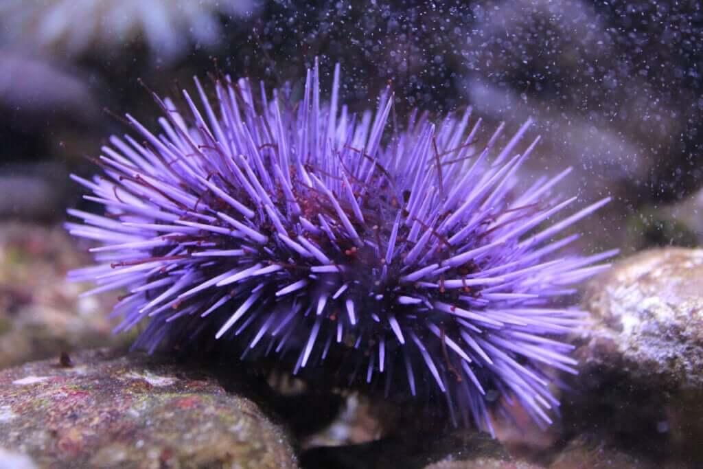 5 curiosidades sobre os ouriços-do-mar
