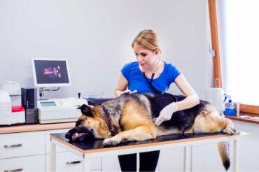 Síndrome do intestino irritável em cães: causas e sintomas