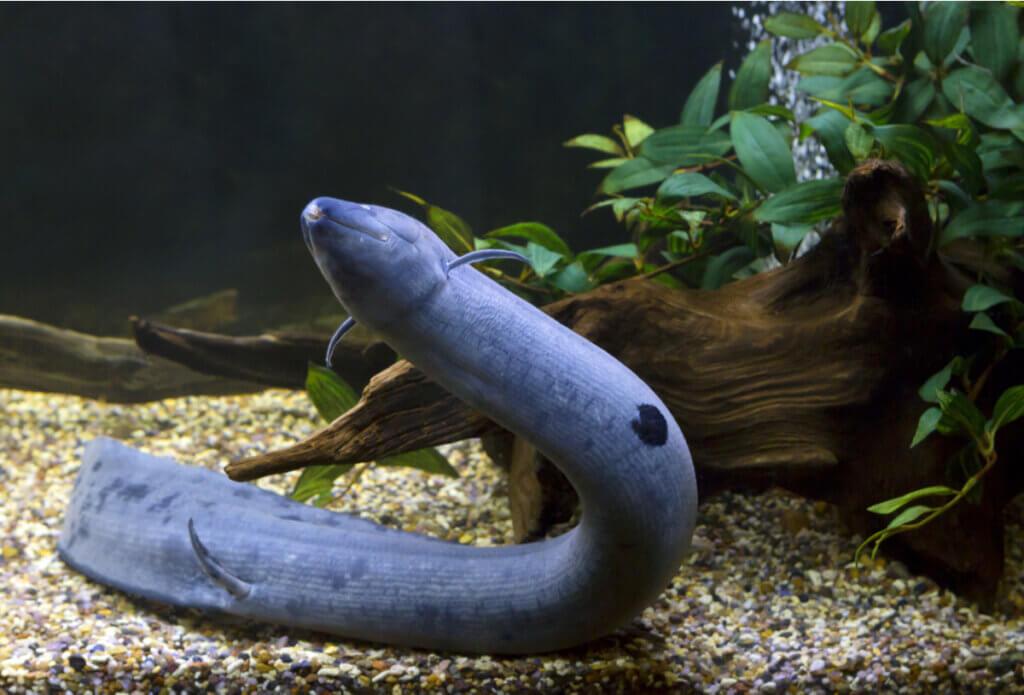 Piramboia, um peixe com pulmões