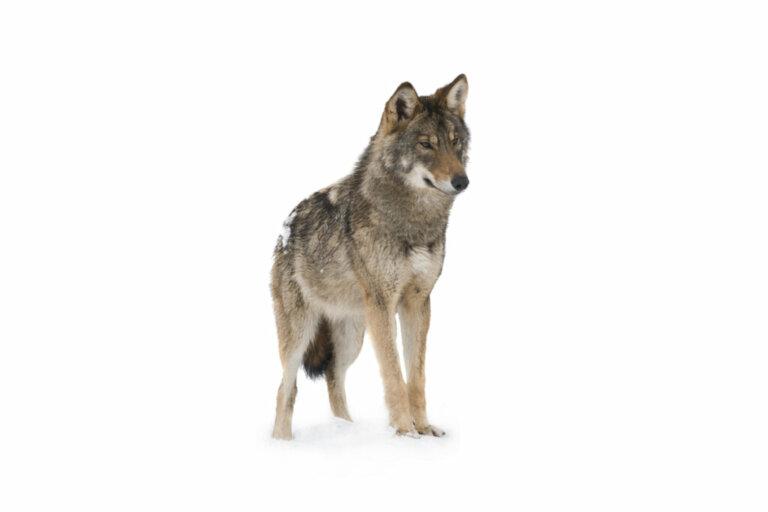 A resistência do lobo ao correr