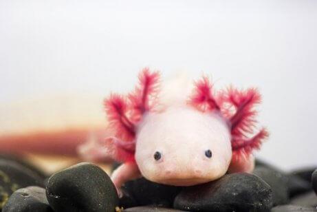 Axolotle mexicano: informações.