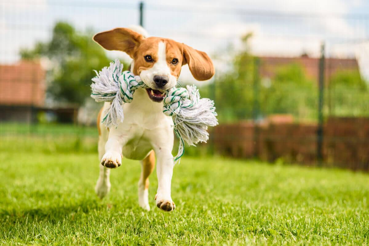 Raças de cães com maior probabilidade de fugir: Beagle.