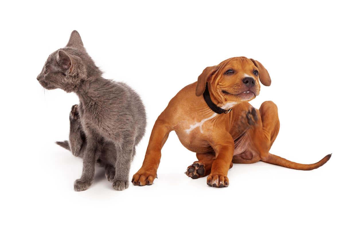 Atopia em cães e gatos.