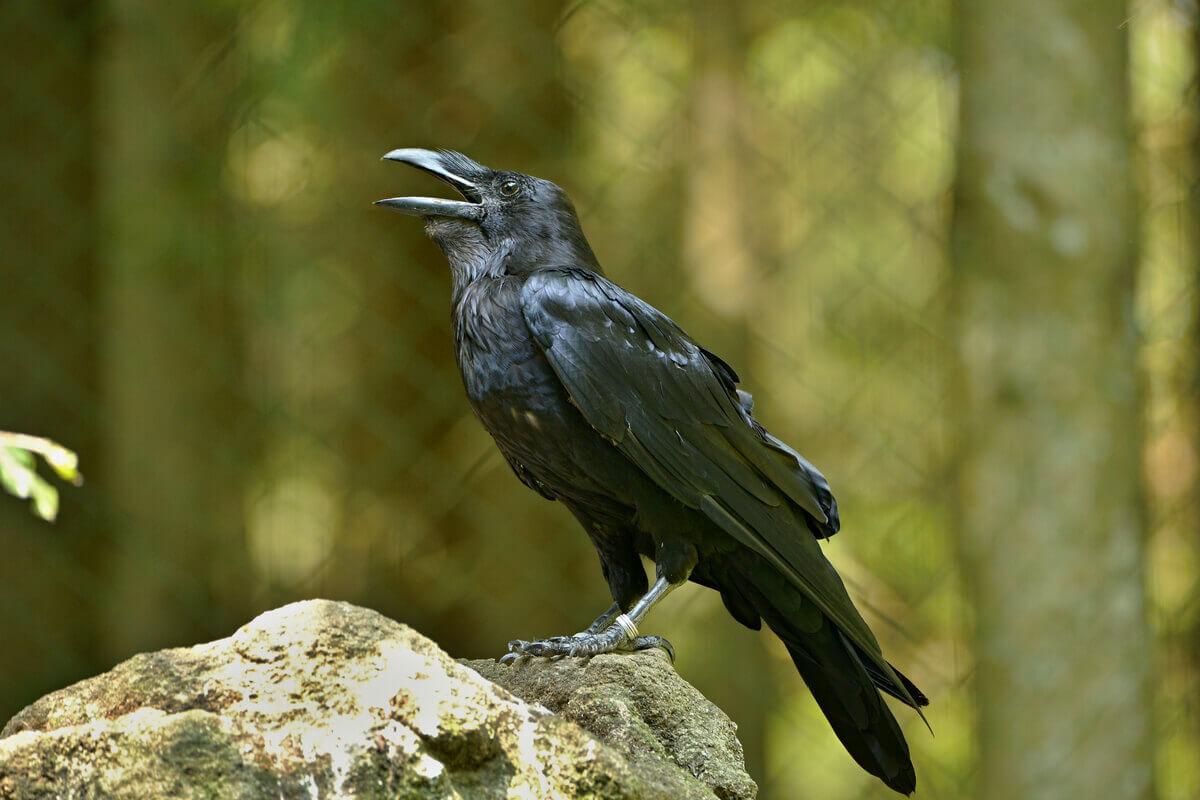 Os corvos e seus parentes.