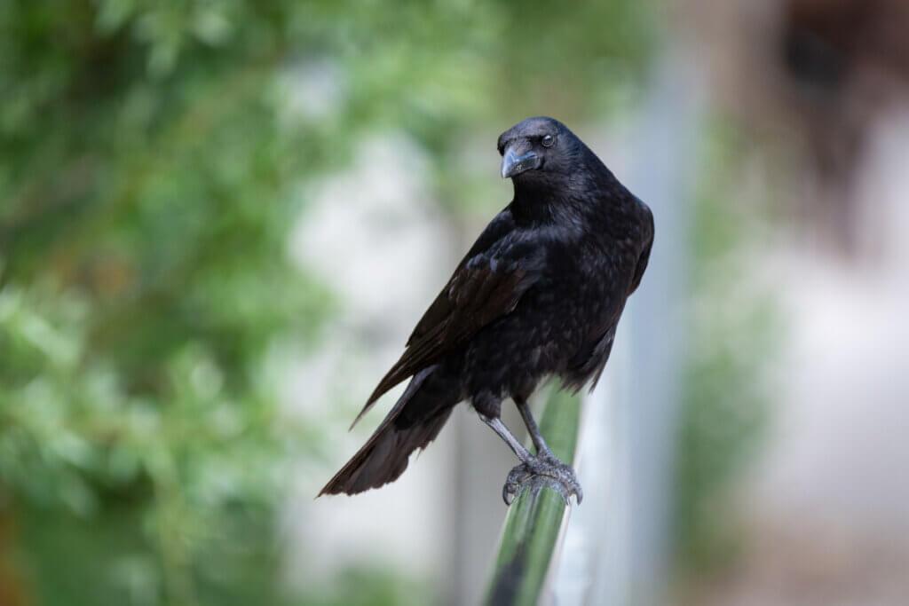 Os corvos e seus parentes: eles merecem ser considerados malévolos?