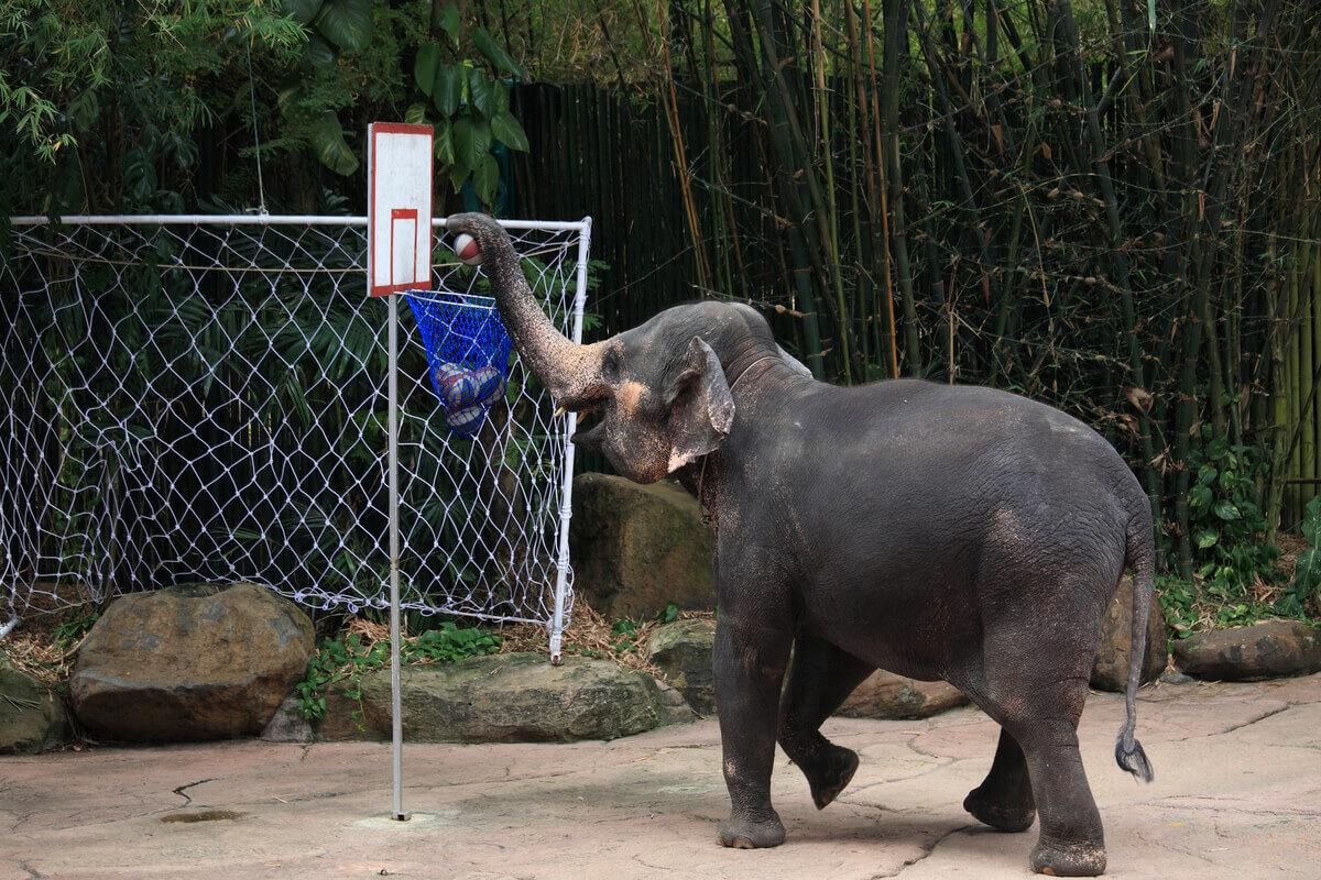 Um elefante se exercitando