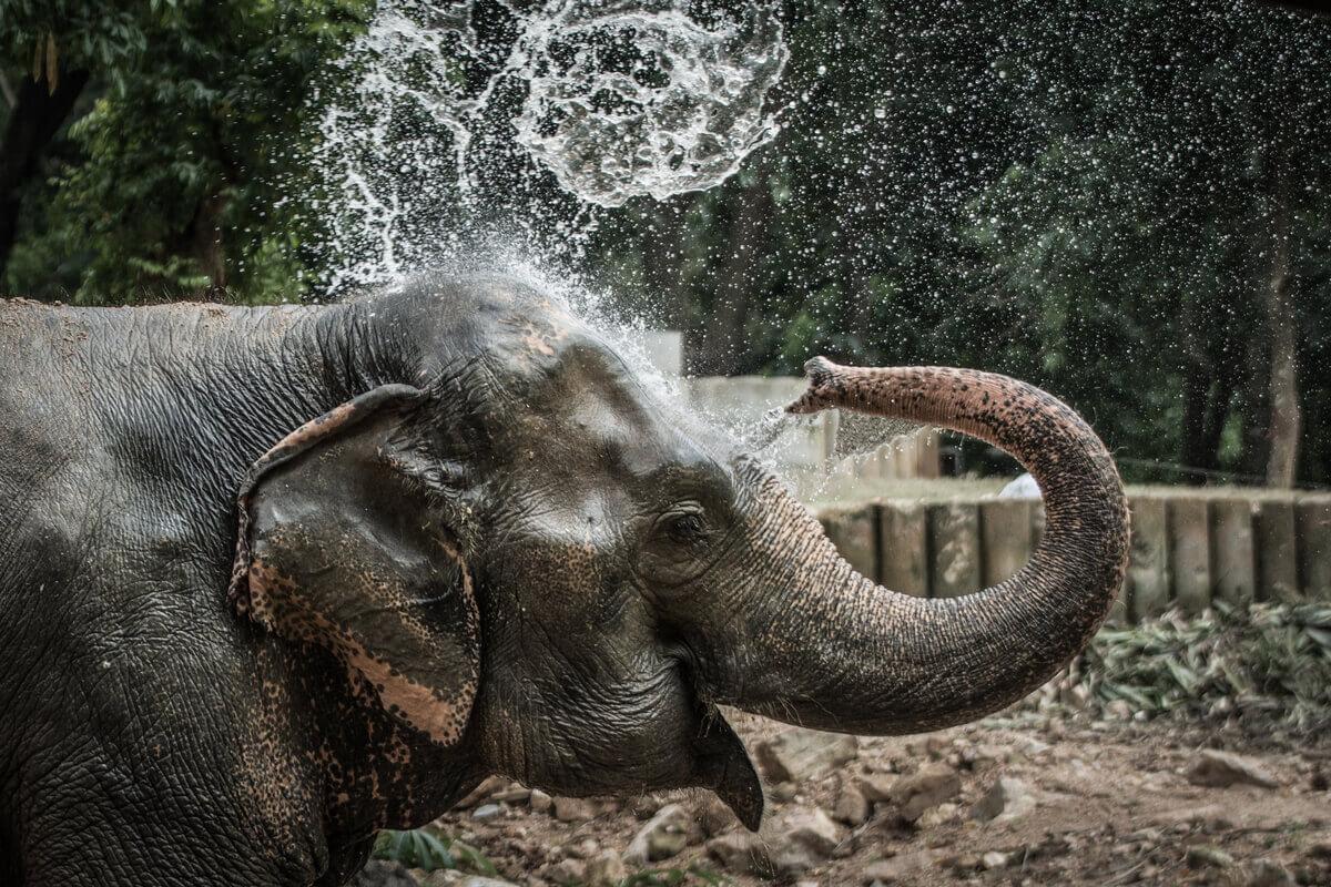 Um elefante usa sua tromba para tomar banho.