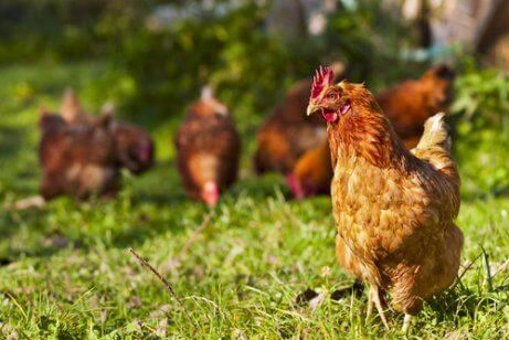Animais de fazenda: galinha