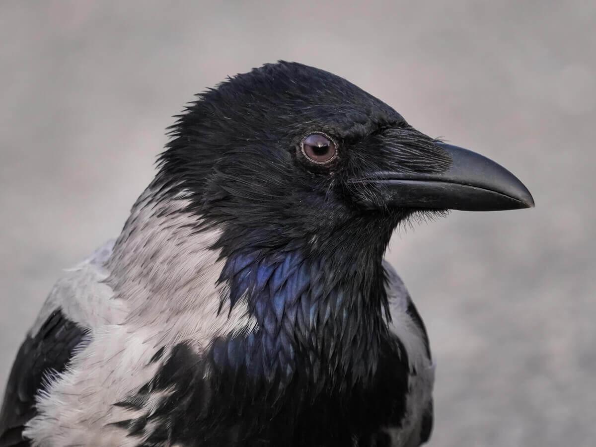 A cabeça de um corvo.