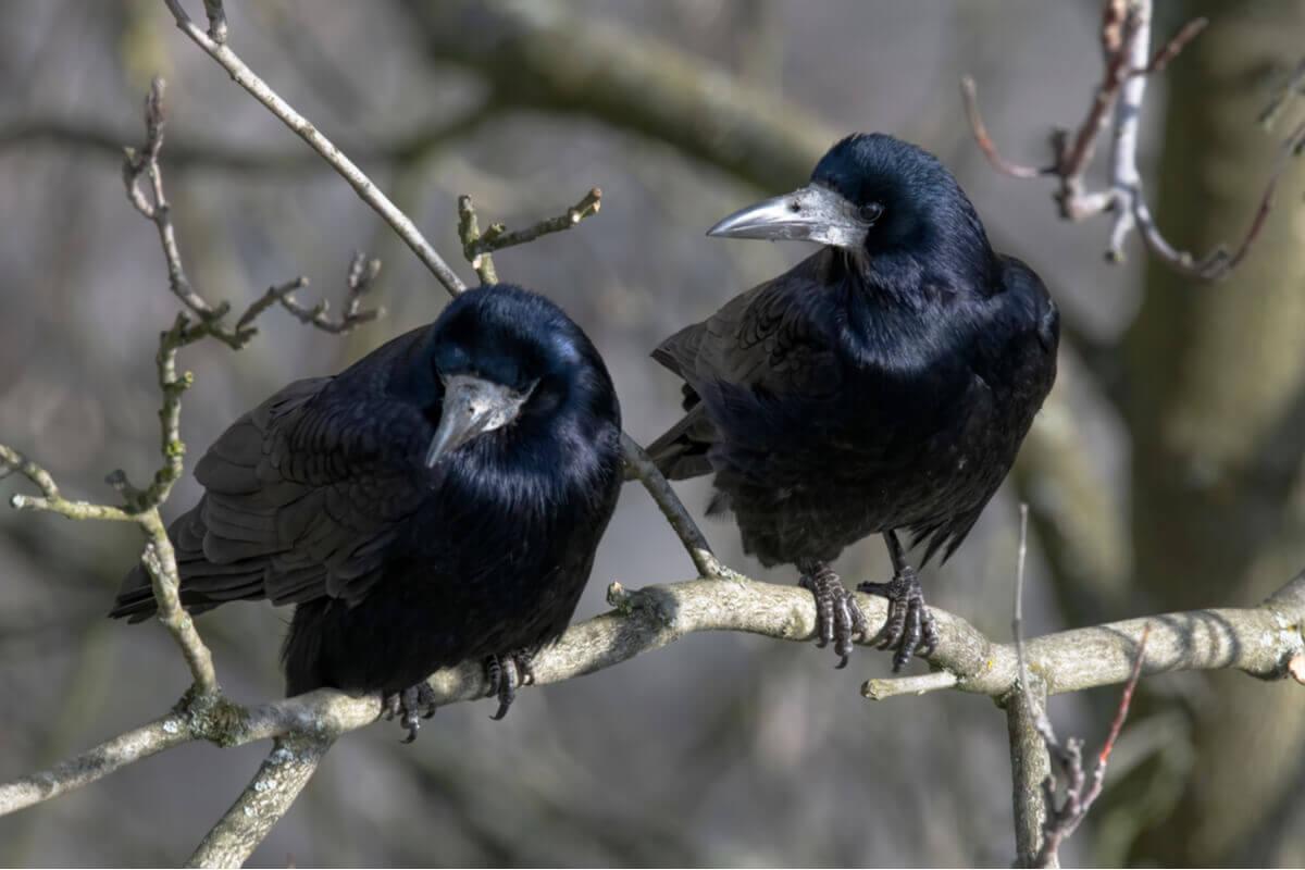 A torre é um animal muito parecido com o corvo.