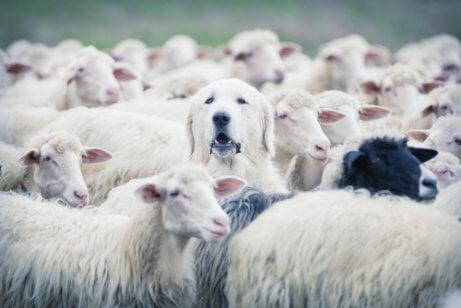 Instinto de proteção em cães.
