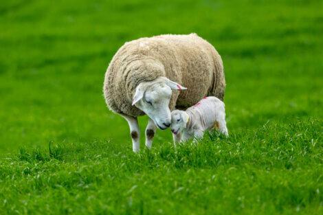 Uma ovelha feliz com um bebê.
