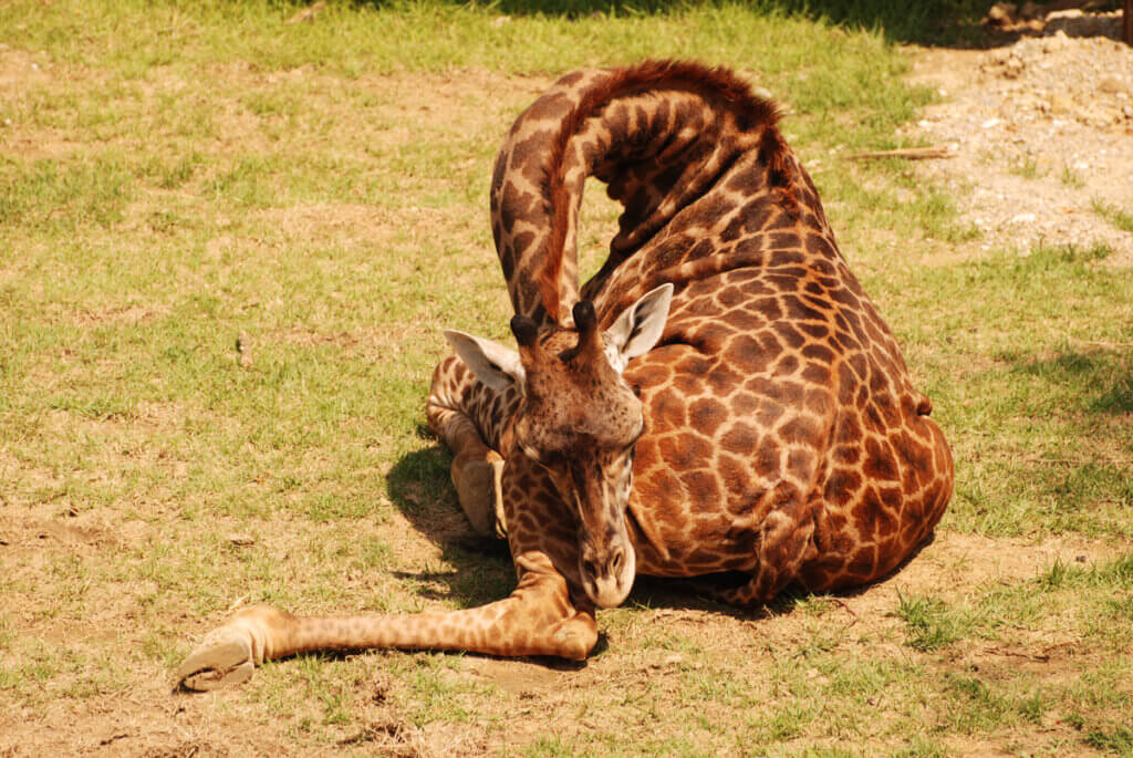 Por que as girafas dormem pouco?