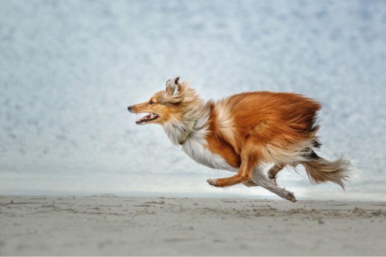 Quais raças de cães têm maior probabilidade de fugir?