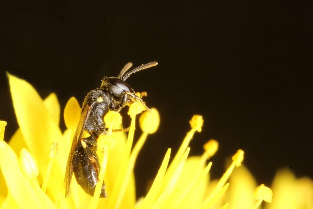 O reaparecimento da abelha australiana que se acreditava estar extinta