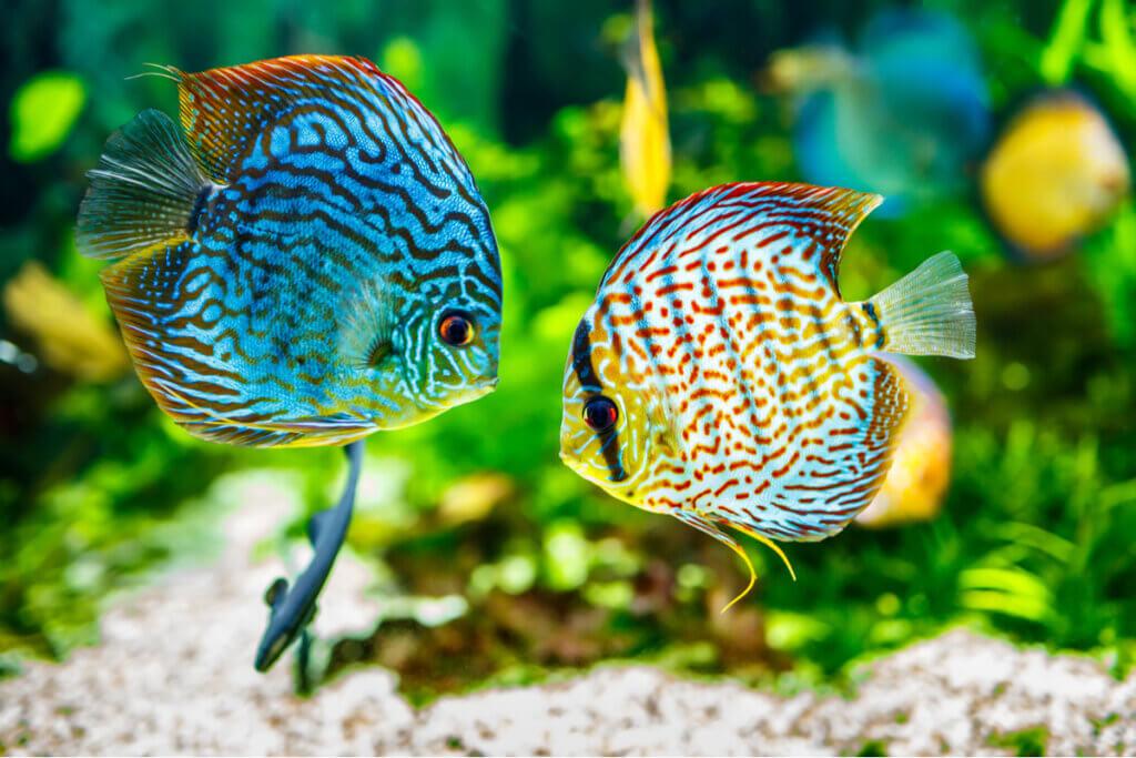 Acará-disco: uma espécie exótica de água doce